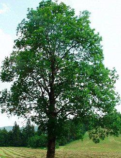 Frassino alta valle del velino for Alberi a crescita veloce